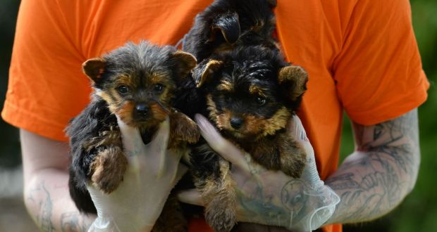 Puppies Being Mass Produced In Ireland And Sold In Uk