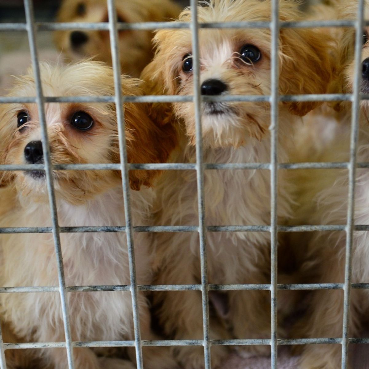 Sad realities of our domestic puppy-farming industry