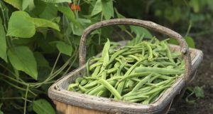 Freshly harvested runner beans. Photograph: Richard Johnston