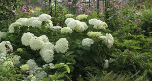 Hydrangea 'Annabelle' flowering in the Dublin garden of Helen Dillon. Photograph: Richard Johnston