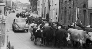 Driving cattle down the North Circular Road, Dublin. Photograph: Nutan