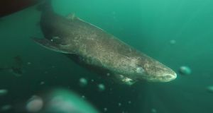 A Greenland shark returning to the deep cold waters of the Uummannaq Fjord in northwestern Greenland. Photograph: Julius Nielsen