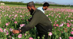 Opium crop: If Irish farmers were offered a bonanza in the cultivation of opium poppies, would we ignore the harm to public health, social wellbeing and individual lives? Photograph: Jawed Tanveer/AFP/Getty