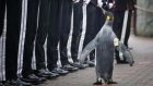 Penguin receives military promotion at Edinburgh Zoo