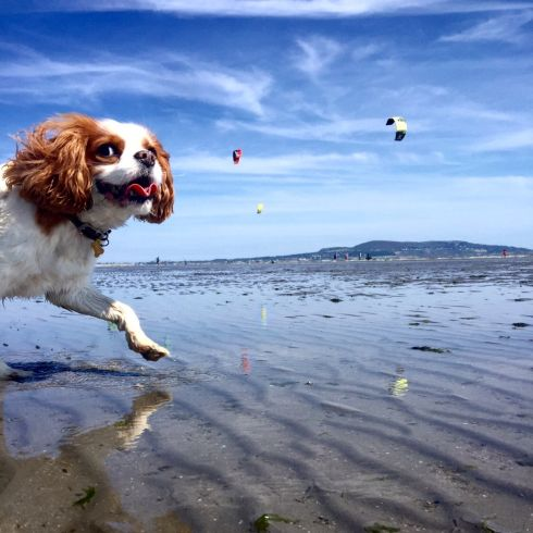 Our dog, Professor, with kite surfers and  Howth Head. Photograph: Margaret Sherlock