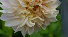 Changing fashions in dinner-plate dahlias