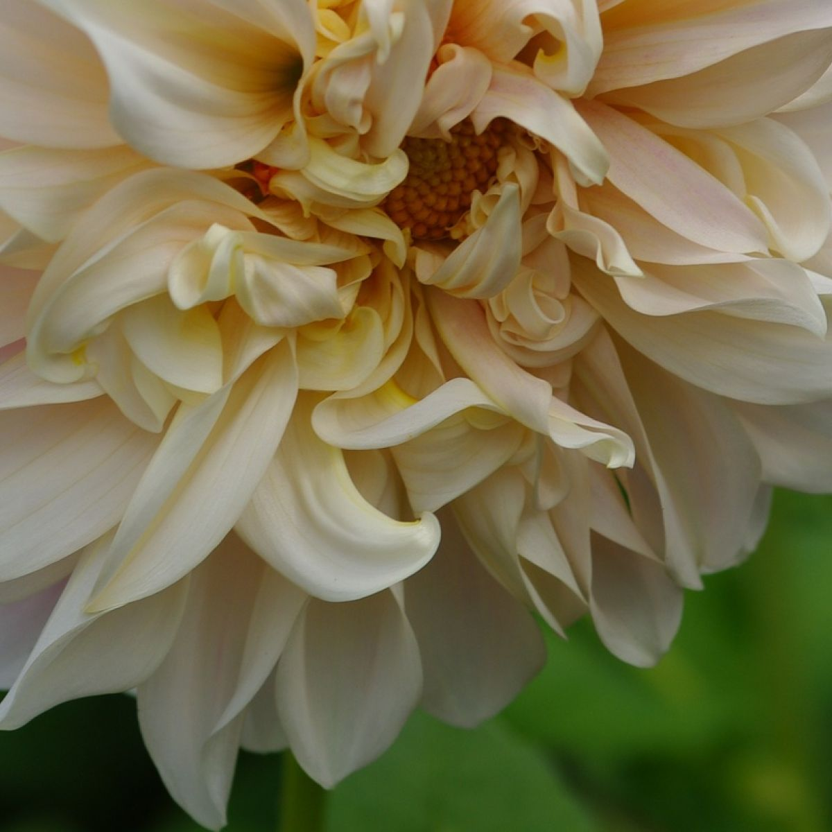 Changing Fashions In Dinner Plate Dahlias