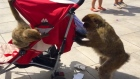 Cheeky monkey: Gibraltar macaque steals from unsuspecting tourist