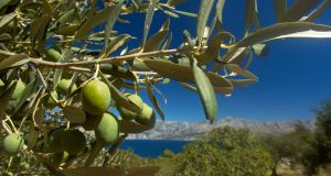 The Olive (Olea europaea) is a species of small tree in the family Oleaceae, native to coastal areas of the eastern Mediterranean region