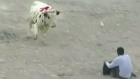Peruvian running of the bulls leaves nine injured