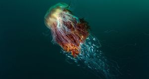"Winning photographer George Stoyle, from Muston, North Yorkshire, won the overall prize of £5,000 (€5,970) for his image of a huge lion's mane jellyfish and its ""hitchhikers"". He said: ""As I approached cautiously I noticed that a number of juvenile fish had taken refuge inside the stinging tentacles."" Photograph: George Stoyle/BWPA/PA Wire"