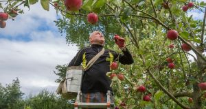 Picker Grzegorz (Greg) Wojtkowiak photographed at High Bank Orchard, Cuffesgrange, Co Kilkenny. Photograph: Brenda Fitzsimons