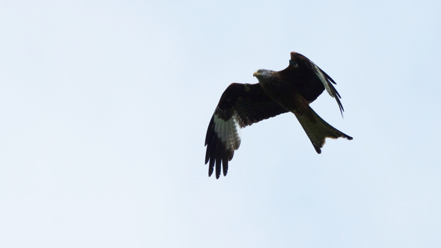red kite chicks bred in fingal for first time in 100 years