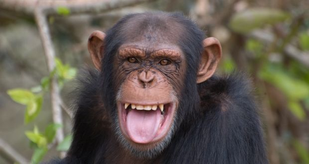 Could a chimpanzee be guilty of murder?
