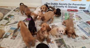 Photographs show the puppies which were seized earlier this week. Photograph: DSPCA Facebook page