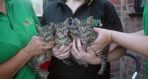 Four kittens which were rescued and taken to Foxy Lodge Wildlife Rescue Centre in Hemsby, near Great Yarmouth. Police are looking for the person who threw the kittens at a train in Lingwood near Norwich, Norfolk. Photograph: British Transport Police