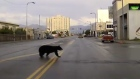 Bear in the big city: an unusual Alaskan police chase