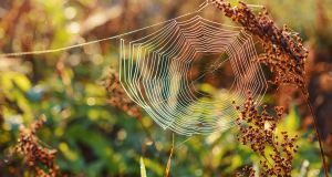 Spider's web was used to stop bleeding in various cultures, including Ireland, for thousands of years. We now know that spider's webs are high in vitamin K, which helps to clot blood. Photograph: iStock