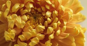 Autumn-flowering chrysanthemum 'Orange Allouise' from Fionnuala Fallon's garden. Photograph: Richard Johnston