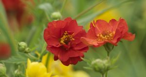 Geum 'Lady Stratheden' and 'Mrs Bradshaw' are perennials that can be divided in autumn. Photograph: Richard Johnston
