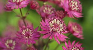 Astrantia 'Ruby Wedding': a perennial that can be divided in autumn. Photograph: Richard Johnston