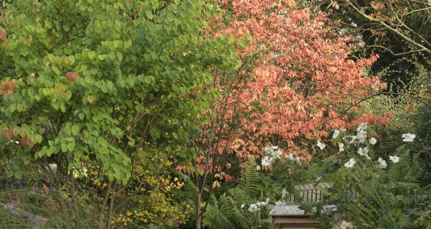 Cercidiphyllum Japonicum And Euonymus Planipes U2013 Two Great Trees For Small  Gardens U2013 Growing Cheek By