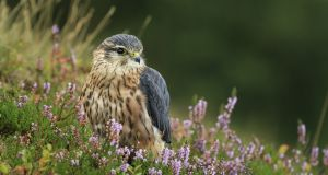 Merlin: the area is home to threatened birds such the merlin, hen harrier, golden plover and red grouse and rare plants such as the marsh saxifrage and bog orchid. Photograph: iStock