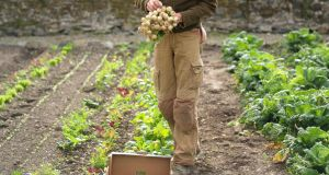 Organic grower Dermot Carey harvesting baby turnips in the walled kitchen garden of Burtown House in County Carlow