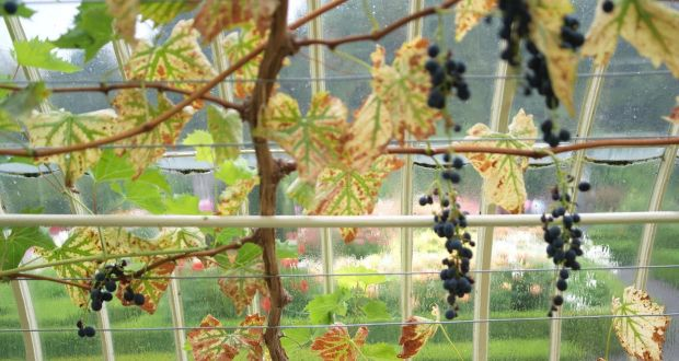 Grapes In A Cold Climate Prune Hard And Keep Under Cover
