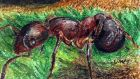 Ecosystem engineers: ants   can alter the properties of soil. Illustration: Michael Viney