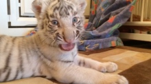 New born tigers adopted adopted by zoo keeper's dog
