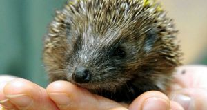 Spike In Number Of Starving Hedgehogs After Mild Weather