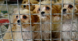 Members of the public are invited to have their say on the Government's proposal to improve and update dog breeding establishment guidelines in Ireland.  Photograph: Dara Mac Donaill / The Irish Times