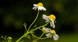 Scented mayweed (Matricaria chamomilla)  in Co Wexford. Photograph:  Zoë Devlin