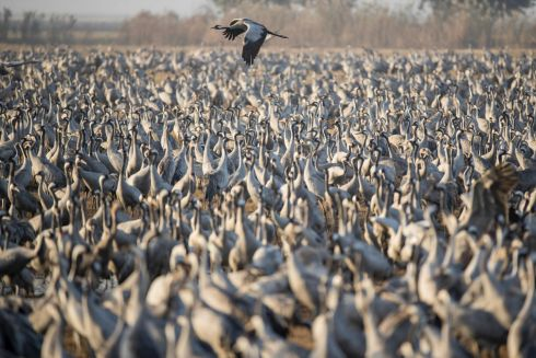READY TO GO: Gray Cranes flocking at the Agamon Hula Lake in the Hula valley in northern Israel. More than €500m birds of some 400 different species pass through the Jordan Valley to Africa and go back to Europe during the year. Photograph: Jack Guez/AFP/Getty Images