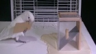 Clever cockatoo shows off  incredible tool-making skills