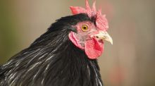 Ollie the rooster was a misogynist who would shame the Taliban