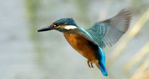 "Halcyon means ""kingfisher"" in Greek, and the phrase is founded on a charming myth, involving the marriage of Alcyone – daughter of Aeolus, the god of winds – and Ceyx, son of the morning star"