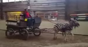 The inquiry began after a video of a zebra pulling a carriage and an image of a man on a zebra's back were circulated on social media.