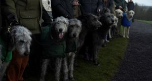 Irish wolfhounds  during the winter solstice at  Newgrange, Co  Meath. Photograph: Clodagh Kilcoyne/Reuters