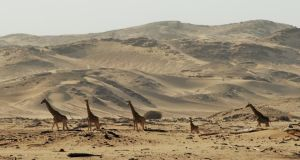 Giraffe walk across the desert. Their numbers have declined by 40 per cent since the 1980s and they were recently declared to be vulnerable to extinction.