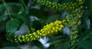 The yellow flowers of mahonia. Very few people seem to know that this ultra-fashionable plant was named after an Irish man, Bernard McMahon. Photograph: Richard Johnston