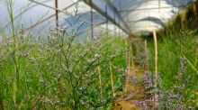 Growing in an Irish climate, with a little help from a polytunnel