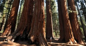 Slow survivors: centuries-old giant sequoia trees  in  California.  Photograph: Mark Ralston/AFP/Getty