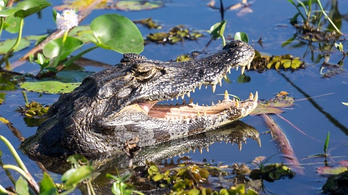 Black Caiman in swamp, Ibera National Park, Argentina, South America