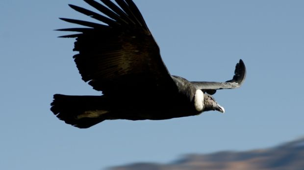 Flying adult condor with black body and a white ruff. Taken in Culca canyon, andean highlands, Peru