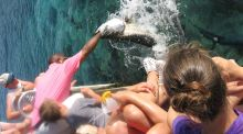 Feeding the gigantic tarpon at Saba Rockin the British Virgin Islands. Photograph: Alan Betson