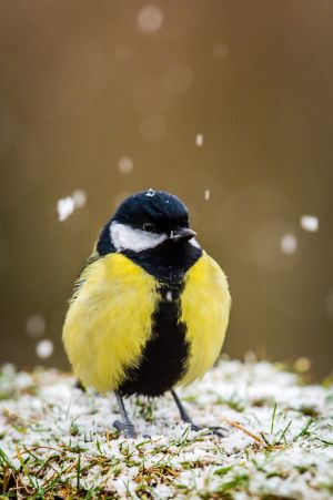 BRECON, WALES: Snowflakes land on the head of a great tit as it perches on a grassy wall at the base of Pen y Fan mountain in Brecon, South Wales. Photograph: Ben Birchall/PA Wire
