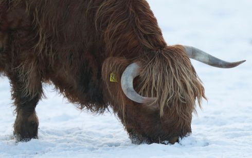 PITLOCHRY, PERTHSHIRE: A highland cow noses about for food in a snow-laden field in Pitlochry, Scotland. Photograph: Russell Cheyne/Reuters