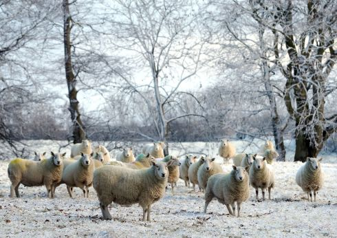 BALLYMENA, ANTRIM: Sheep in the snow in Ballymena, Co Antrim. Photograph: Niall Carson/PA Wire